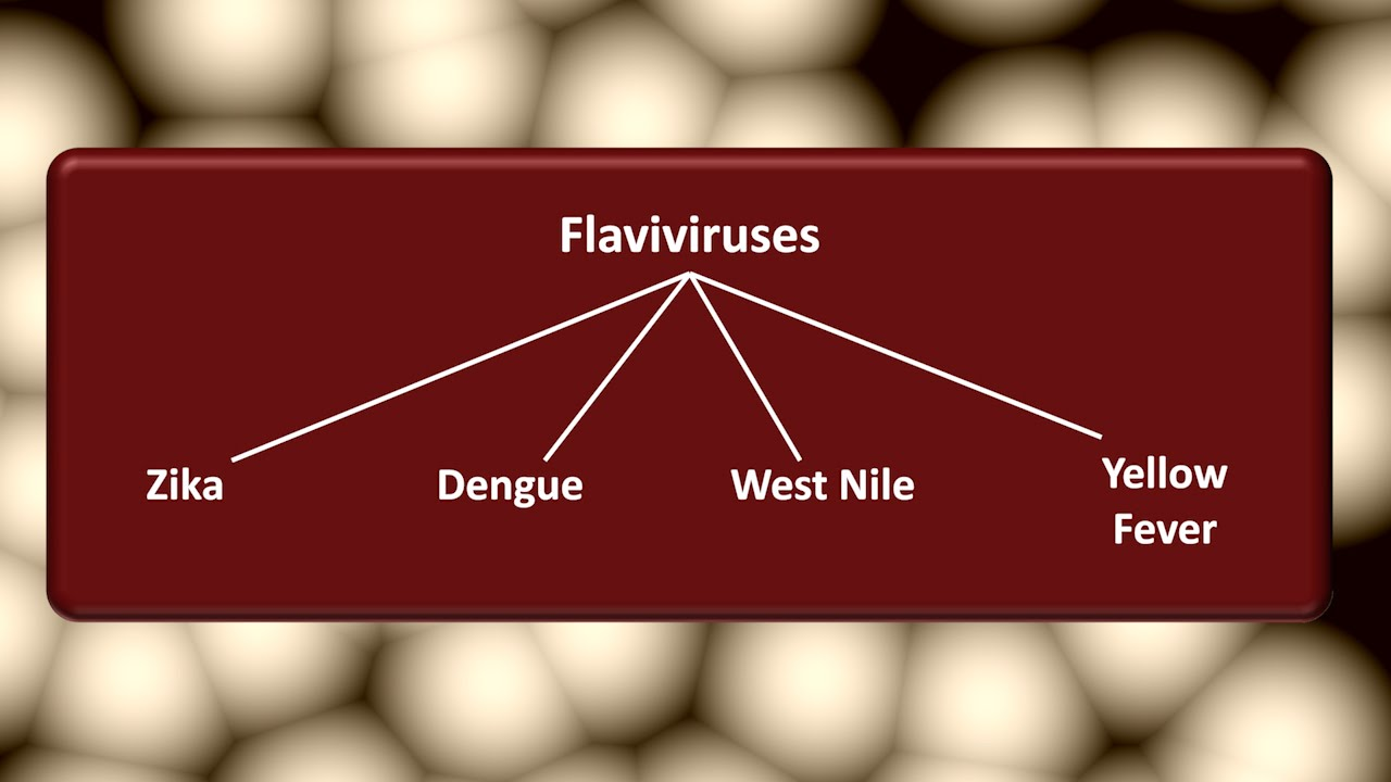The Flavivirus Family